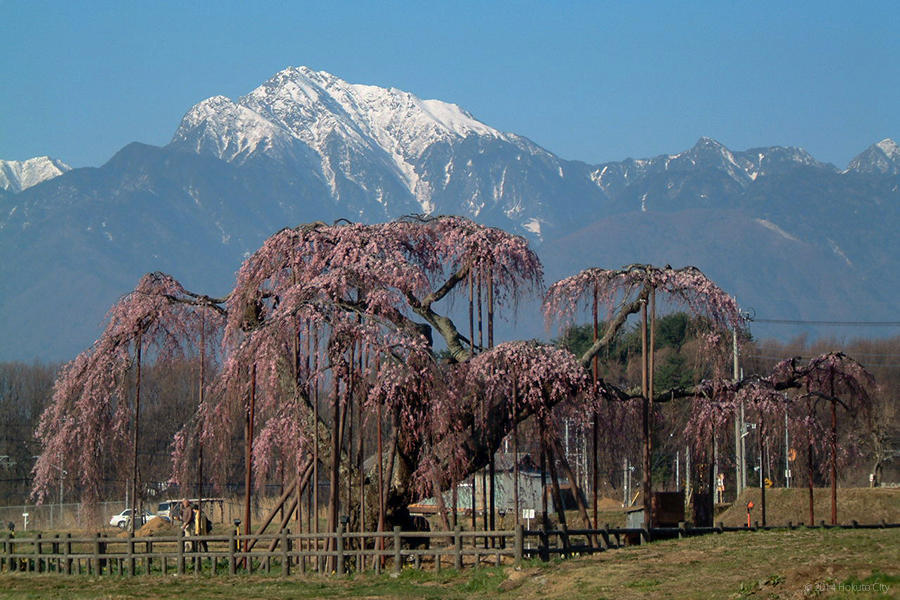 17.大糸桜と南アルプス 01