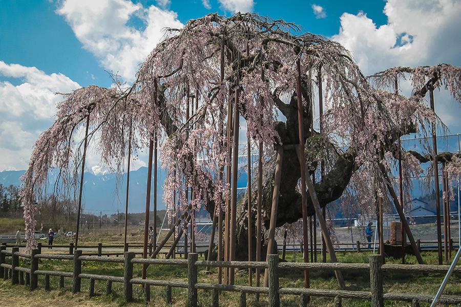 17.大糸桜と南アルプス 03