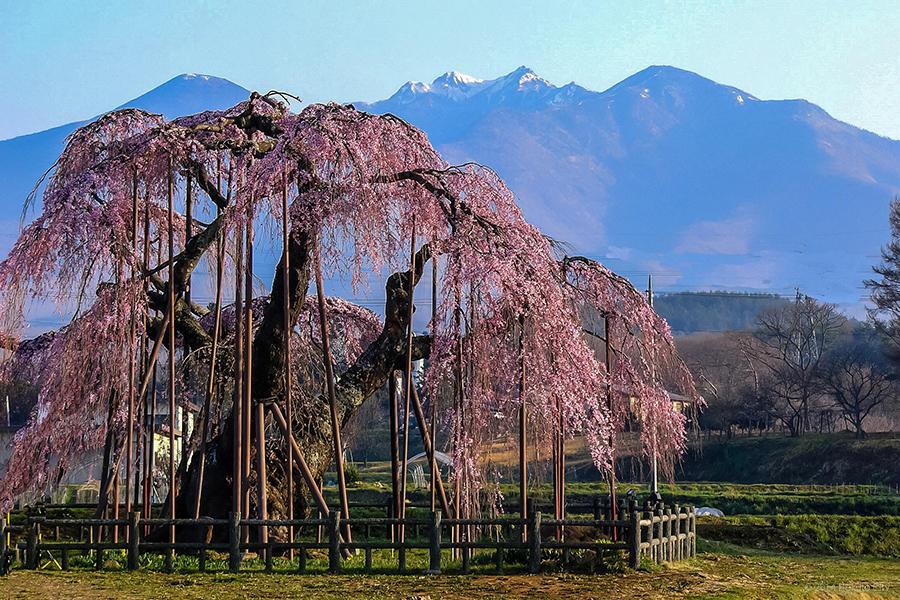 17.大糸桜と南アルプス 04