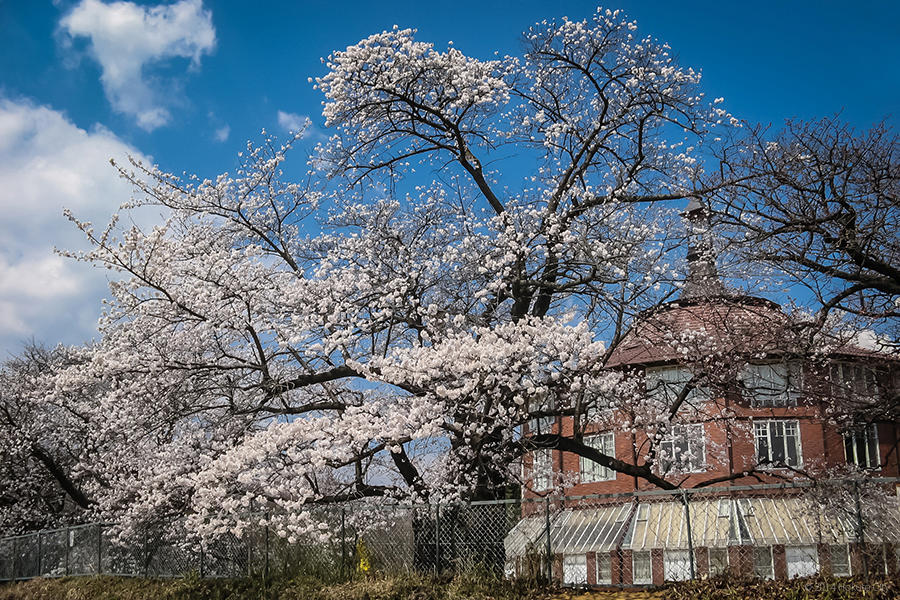 18.清春芸術村、桜と甲斐駒ヶ岳 01