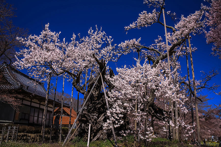 22.山高神代桜と眞原の桜並木 02