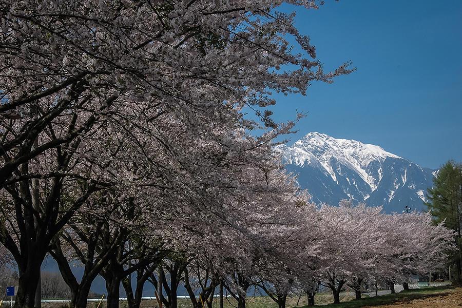 蕪の桜並木 01
