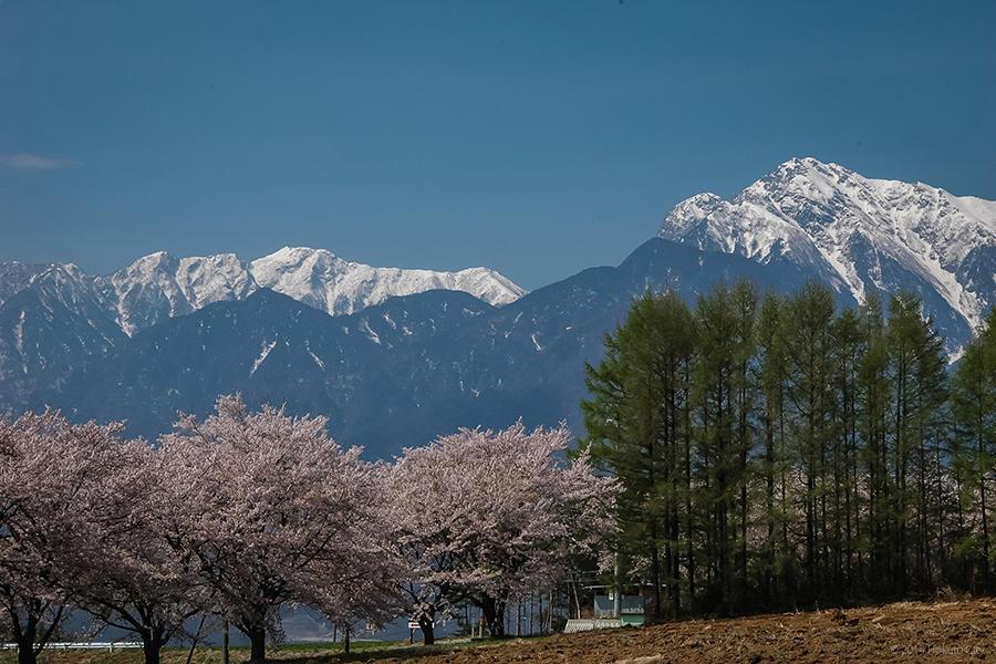 蕪の桜並木 02